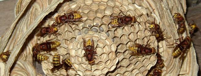 Осы на даче: как избавиться от вредных насекомых за один день