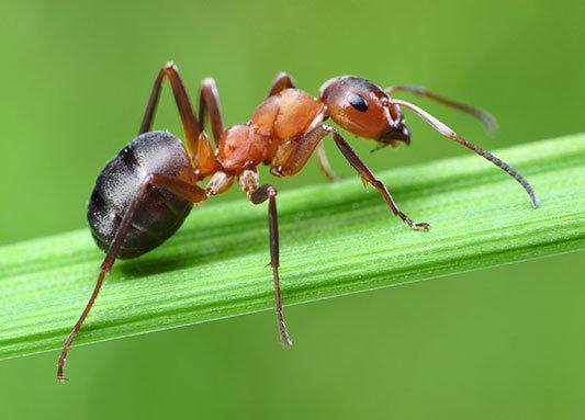 Как избавиться от муравьев в квартире и на участке